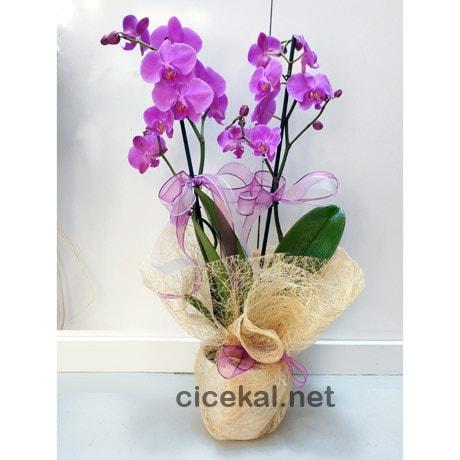 Çift Dal Fuşya Orkide