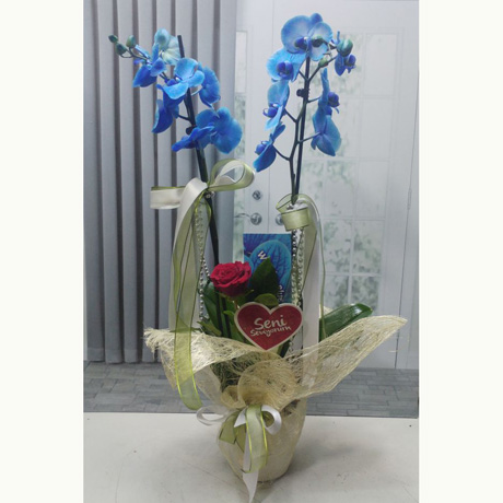 Çift Dallı Mavi Orkide ve Tek Gül