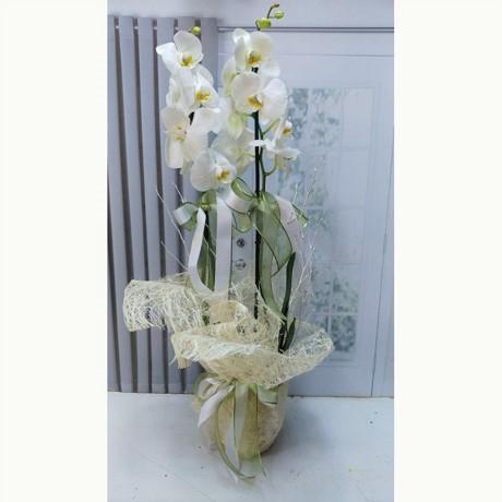 Çift Dallı Büyük Boy Beyaz Orkide