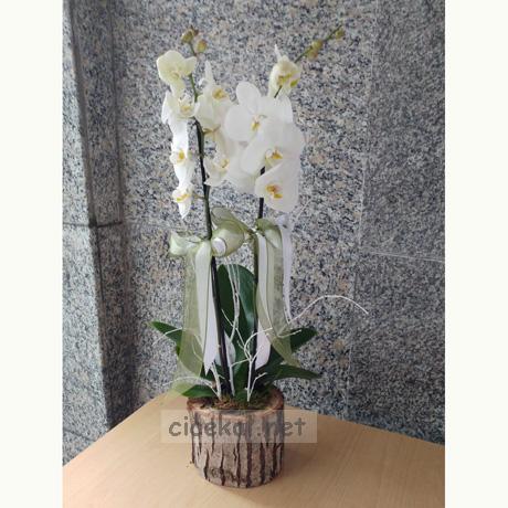 Kütük Saksı İçerisinde Çift Dallı Orkide