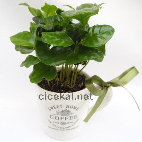 Fincan Seramik Saksıda Kahve Çiçeği