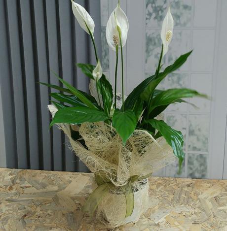 Bol Çiçekli Spatifilyum Çiçeği