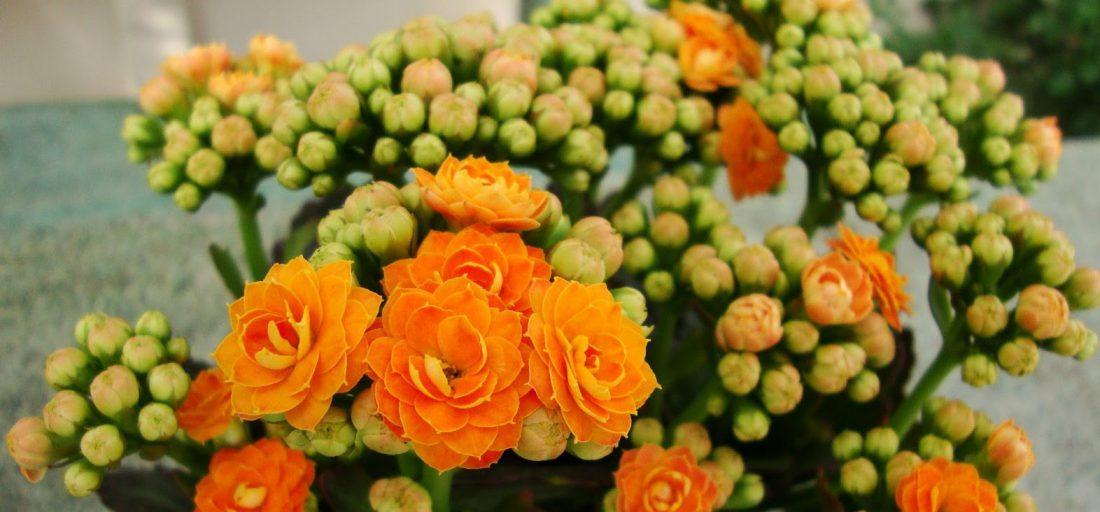 Kalanşo Çiçeği Bakımı Nasıl Yapılır?