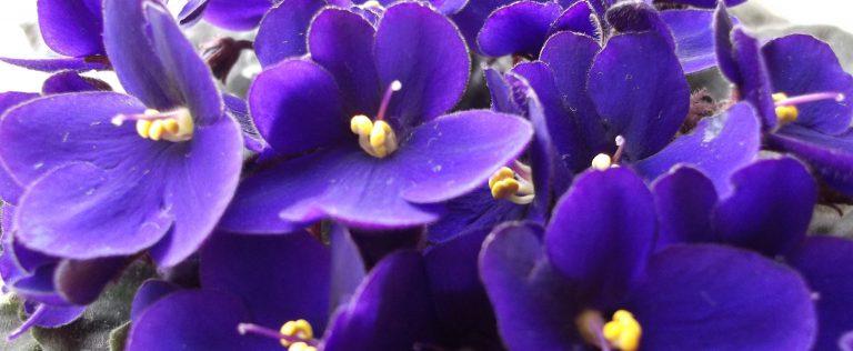 Menekşe Çiçeği Bakımı