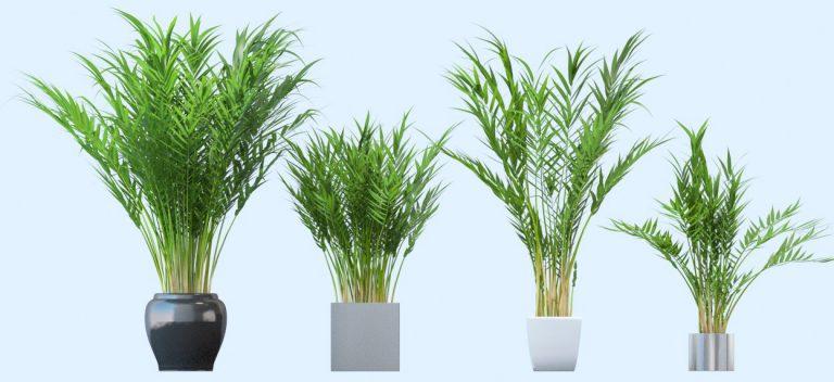 Areka Palmiyesi Çiçeği Bakımı Nasıl Yapılır ?