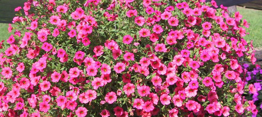 Petunya Çiçeği Bakımı Nasıl Yapılır?
