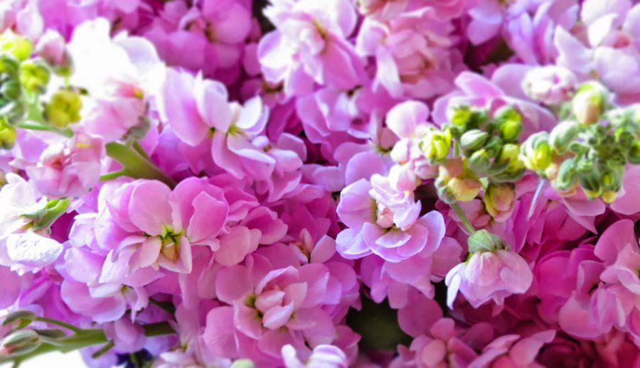 Şebboy çiçeği bakımı nasıl yapılır