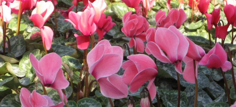 Sıklamen Çiçeği Bakımı Nasıl Yapılır ?