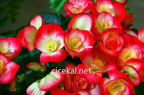 Begonya Çiçeği Anlamı