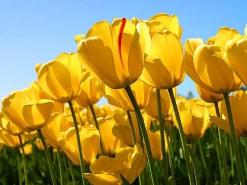 Lale Çiçeğinin Büyüleyici Anlamı