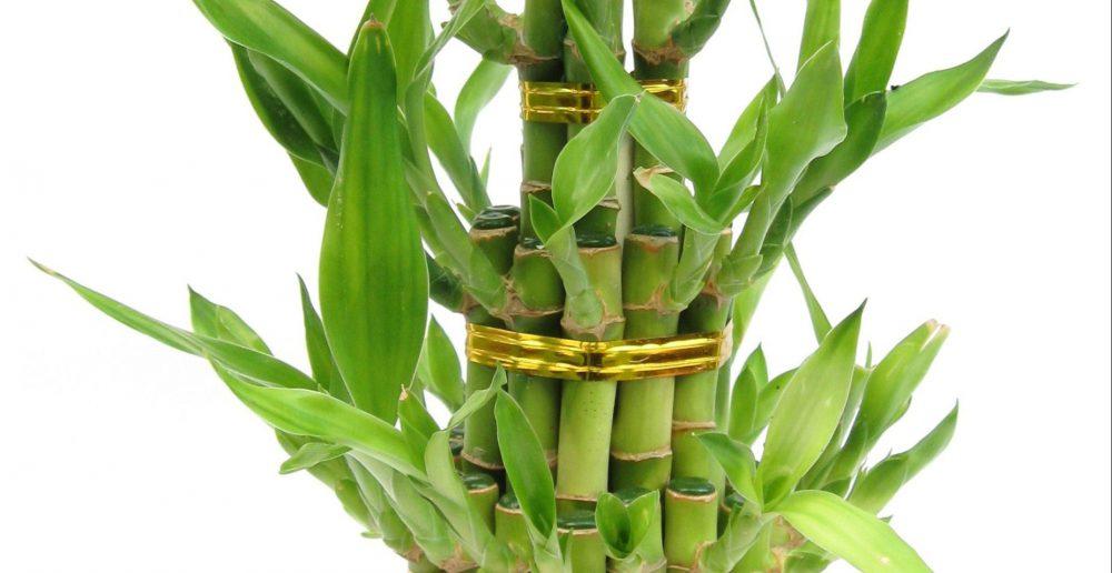 Bambu Bakımı Nasıl Yapılır