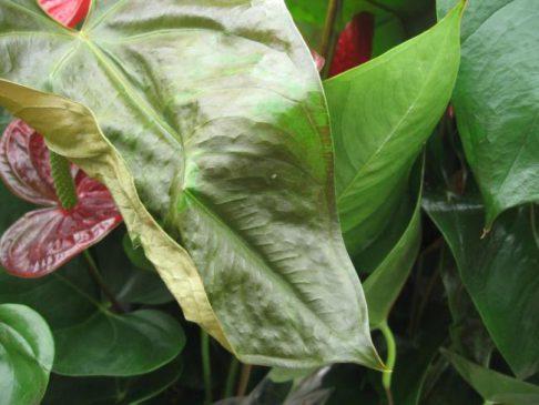 Yaprakların sararması nasıl önlenir