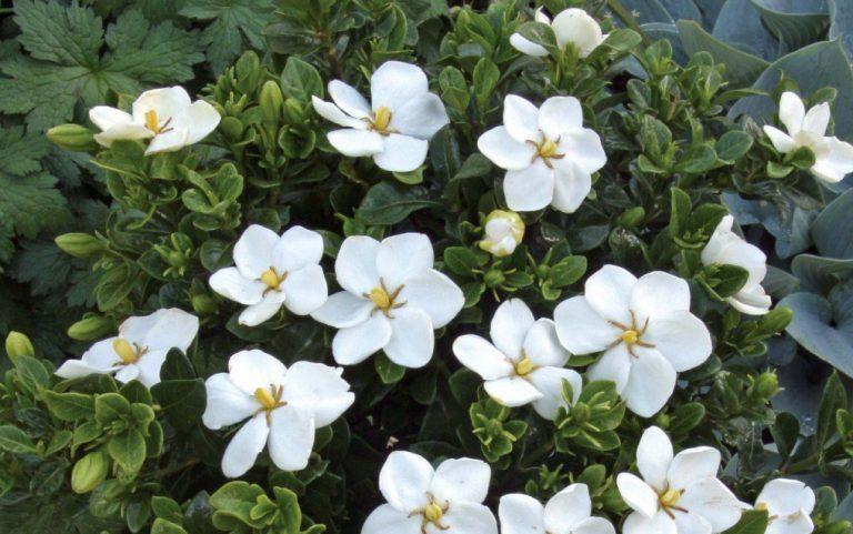 Gardenya Çiçeği Bakımı
