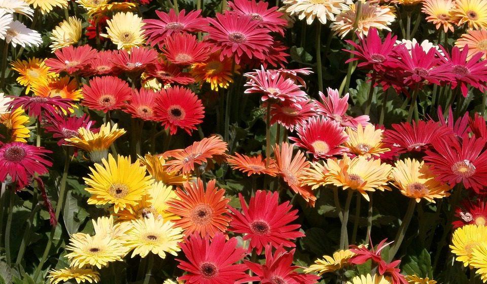 Gerbera Çiçeği Anlamı Nedir?