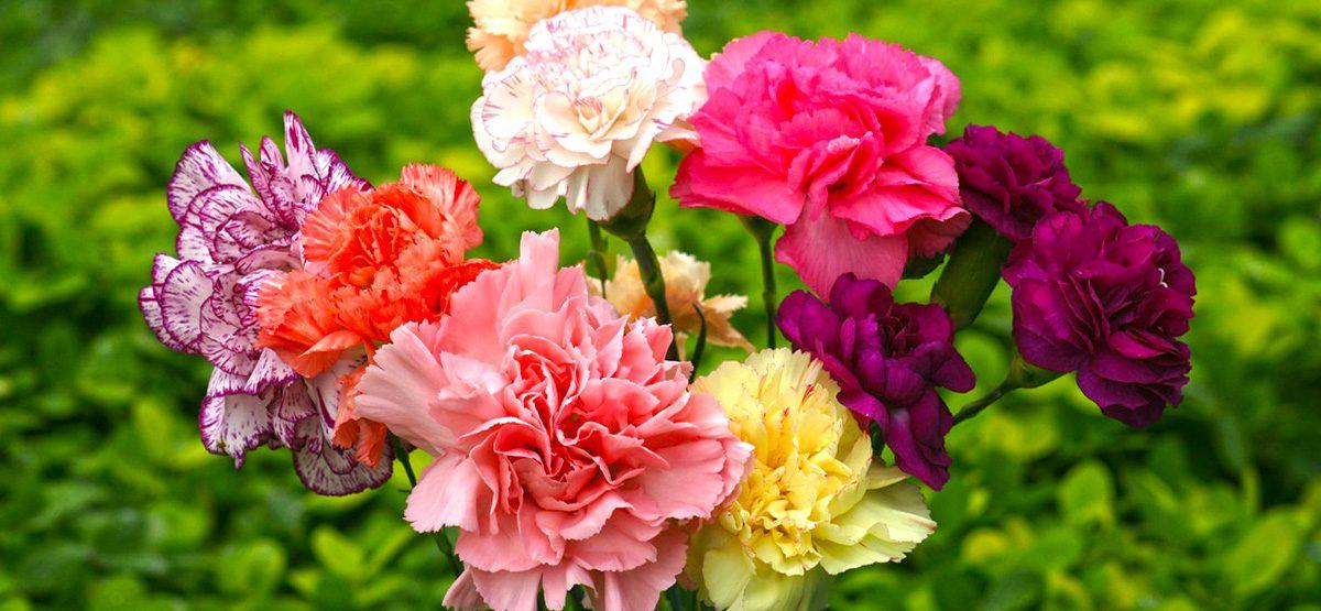 Karanfil Çiçeği Anlamı Nedir?