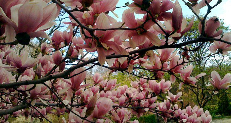 Manolya Çiçeği Bakımı