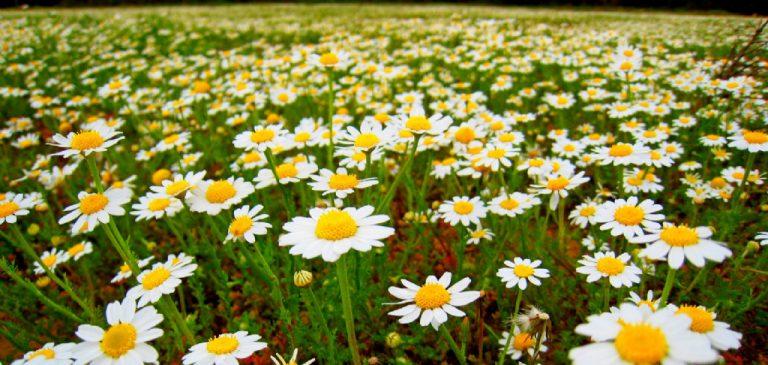 Papatya Çiçeği Anlamı