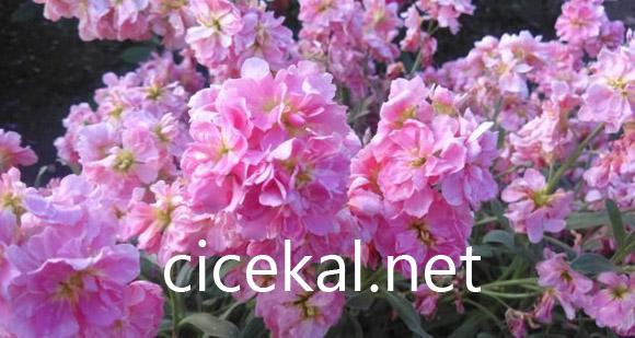 Şebboy Çiçeğinin Anlamı Nedir?