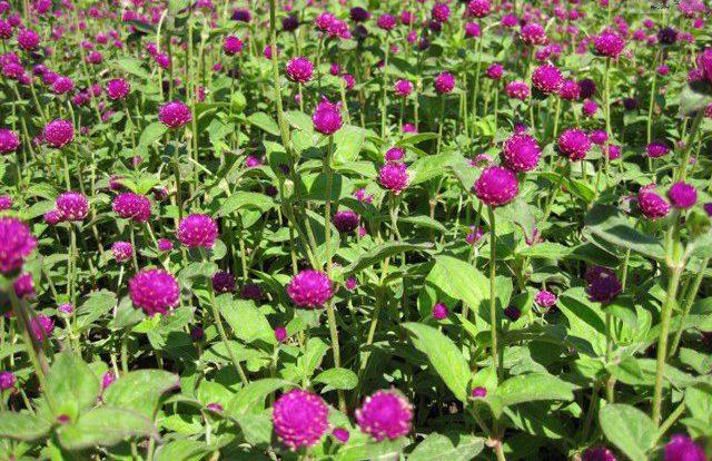 Medine Çiçeği Anlamı
