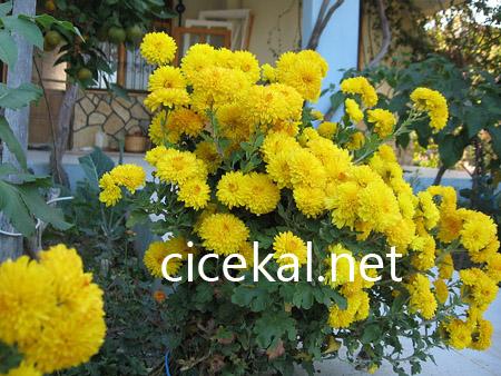 Kasımpatı Çiçeği Anlamı