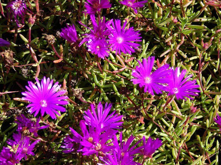 Acem Halısı Çiçeği Bakımı