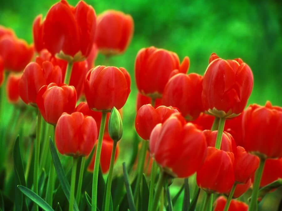Gelincik Çiçeği Bakımı