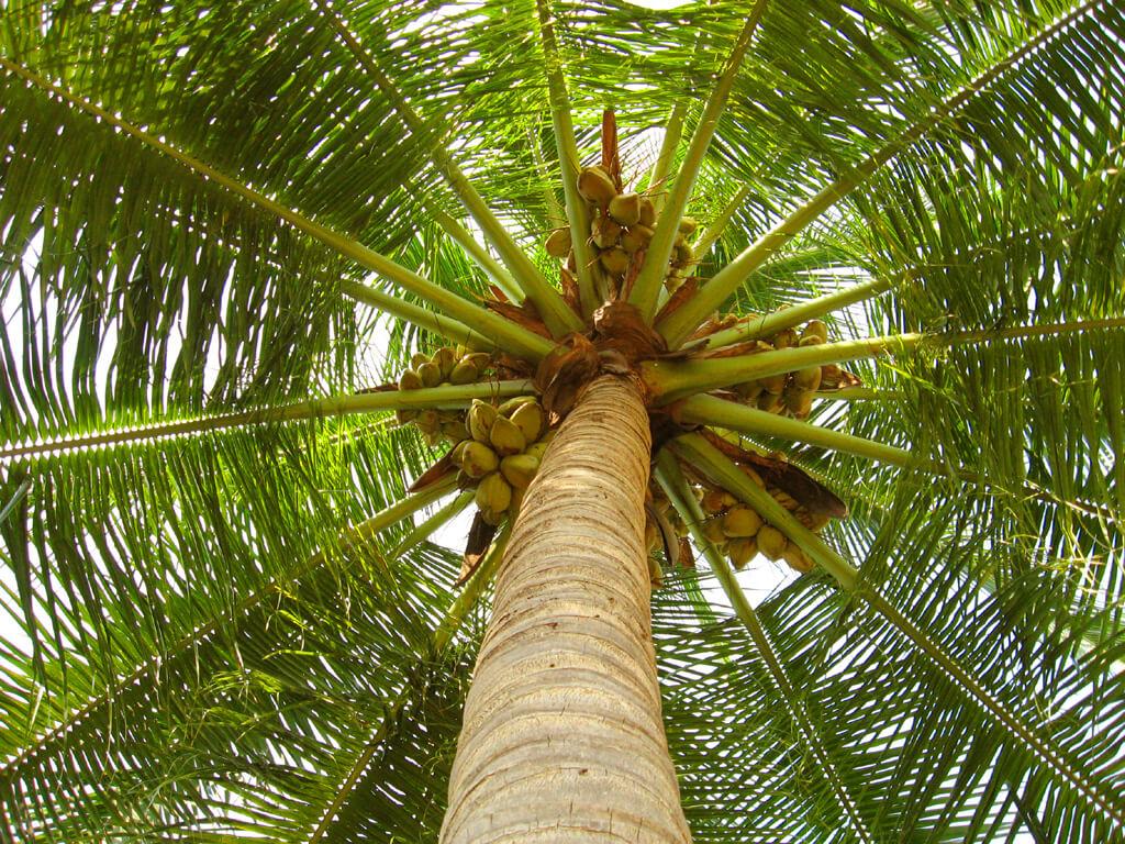Hindistan Cevizi Ağacı