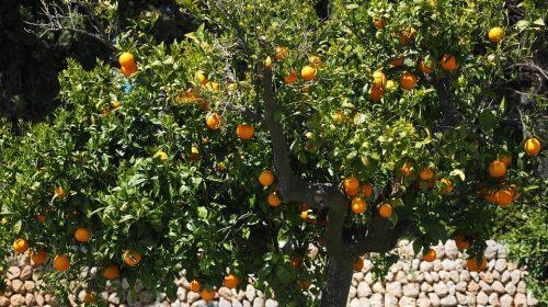 Portakal Ağacı Bakımı