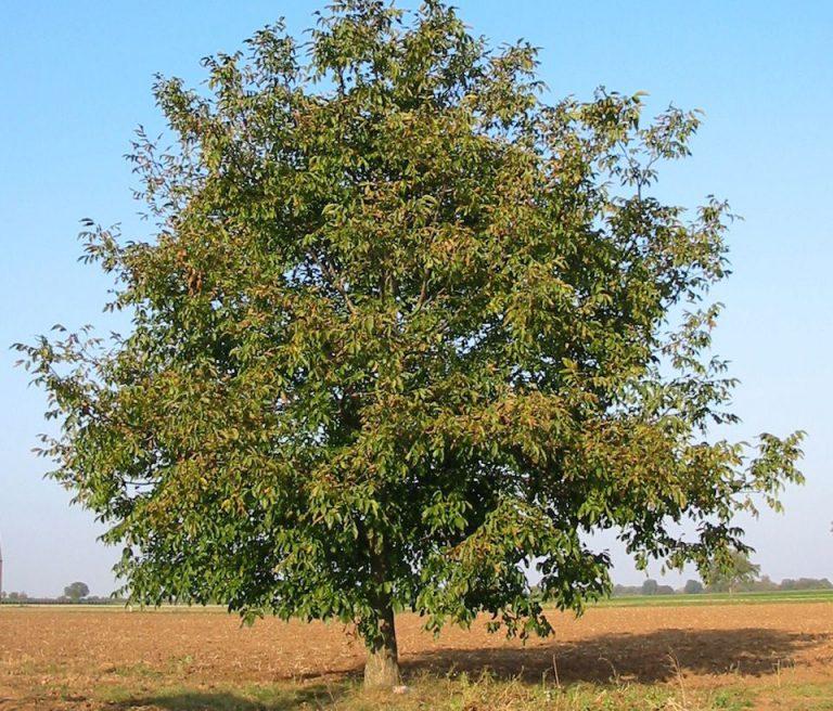 Ceviz Ağacı Bakımı