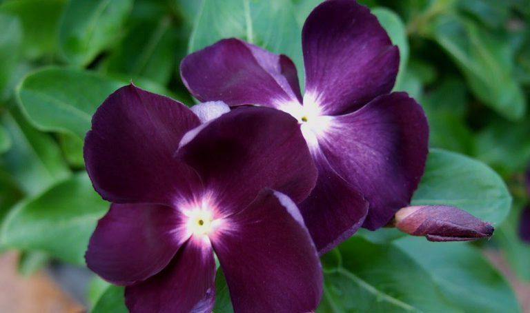 Vinca ( Cezayir Menekşesi ) Çiçeği Bakımı