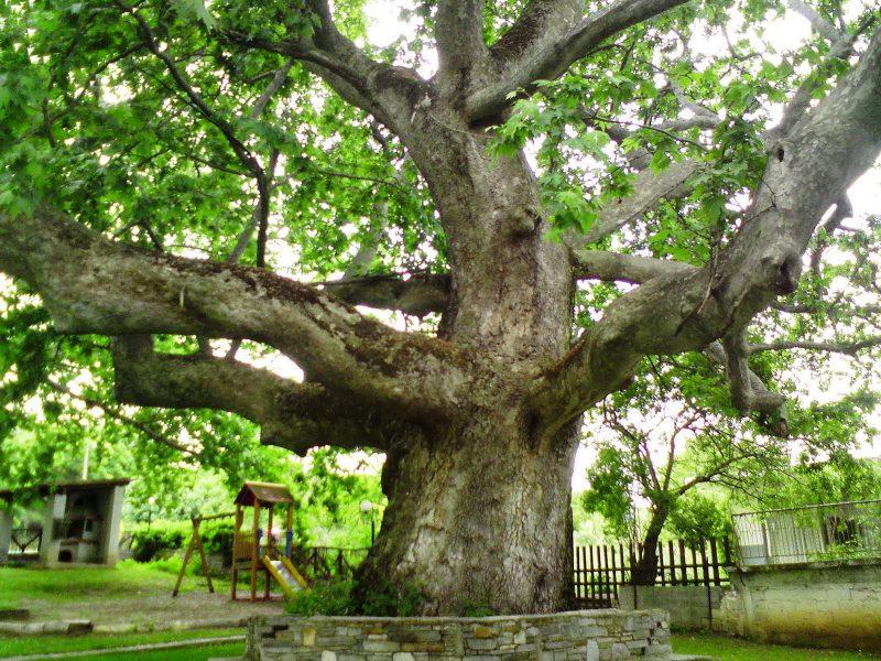 Çınar Ağacı Bakımı ve Yetiştirilmesi