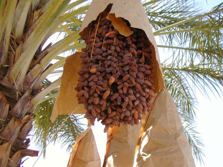 hurma ağacı ne zaman meyve verir cicekalnet