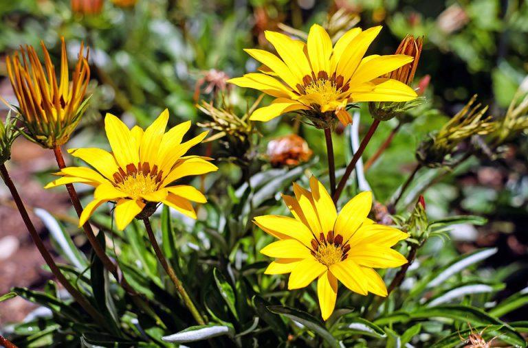 Gazanya Çiçeği Bakımı