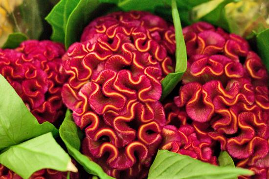 Horoz İbiği Çiçeği Bakımı