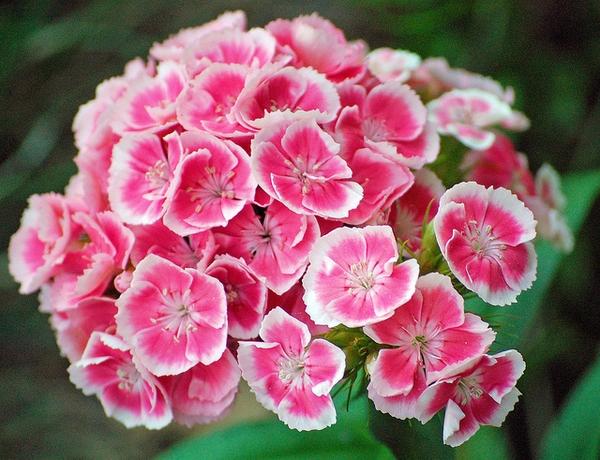Hüsnü Yusuf Çiçeği Anlamı