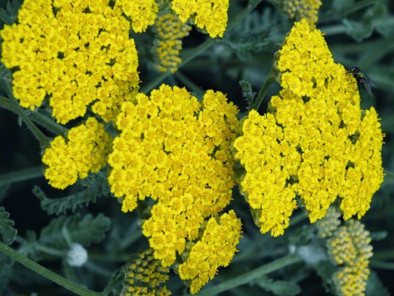 Kandil Çiçeği Bakımı