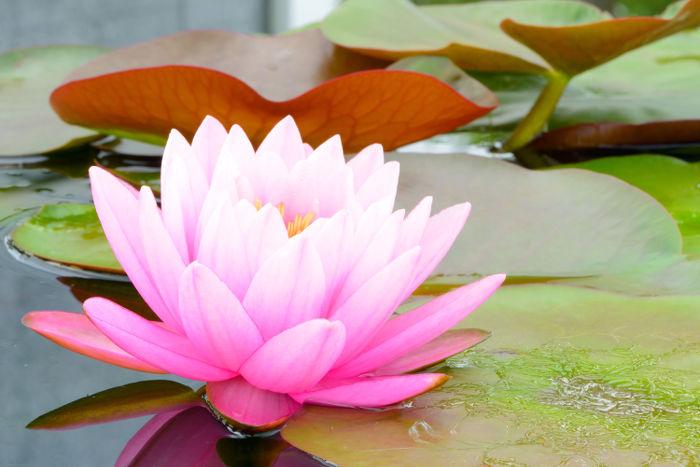 Nilüfer Çiçeği Bakımı