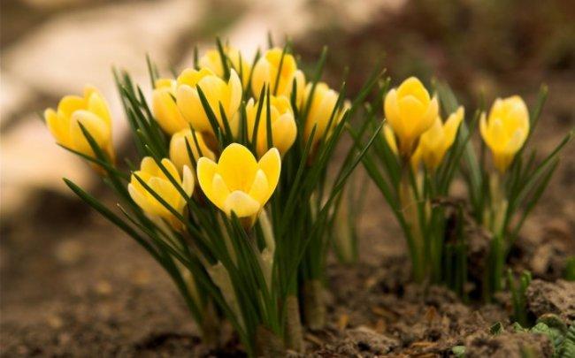 Çiğdem Çiçeği Bakımı