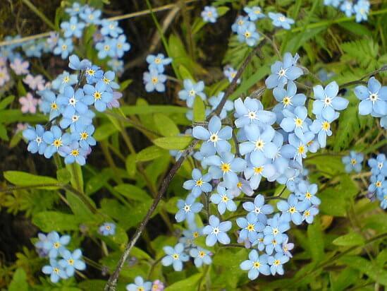 Unutma Beni Çiçeği Özellikleri