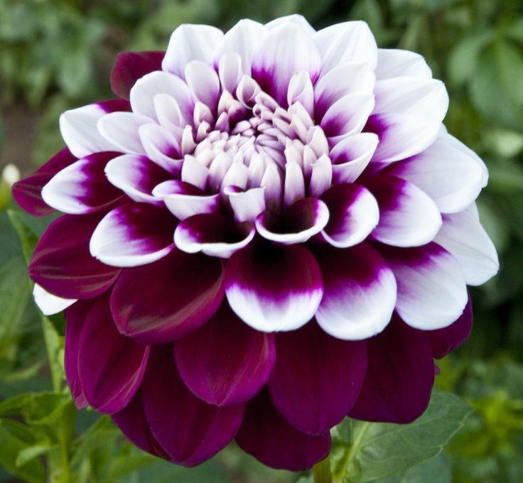 Yıldız Çiçeği Bakımı Ve Sulaması Nasıl Olmalı