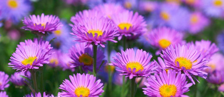 Aster Çiçeği Bakımı