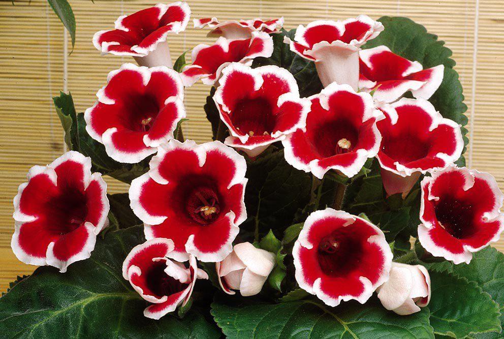 Gloksinya Çiçeği Bakımı