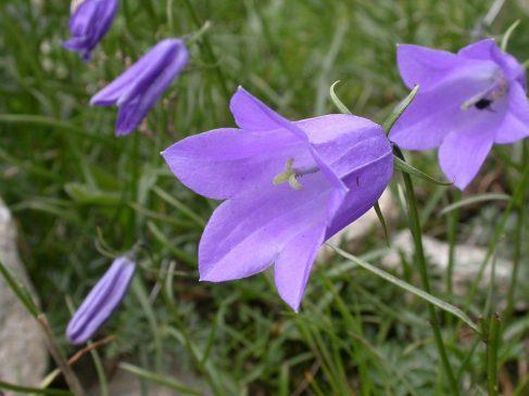 çan çiçeği Faydaları Cicekalnet