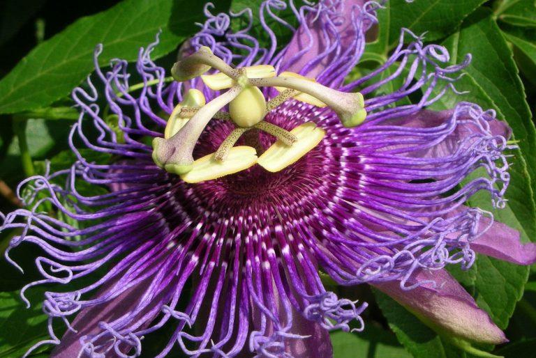 Çarkıfelek Çiçeği Bakımı Nasıl Yapılır