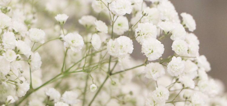 Cipso Çiçeği Bakımı