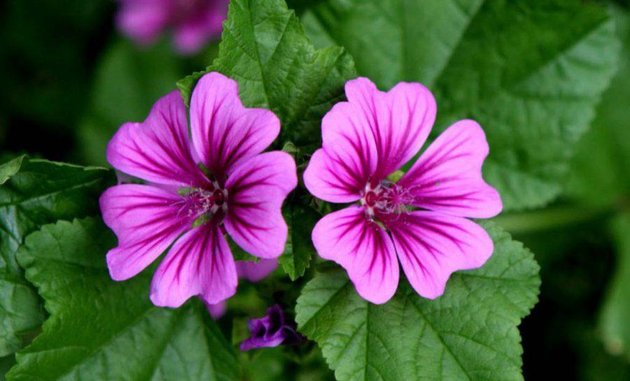 Ebegümeci Çiçeği Bakımı