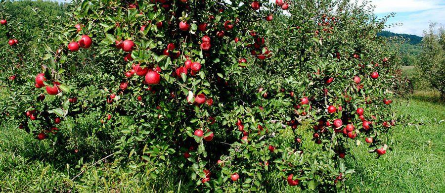 Elma Ağacı Bakımı