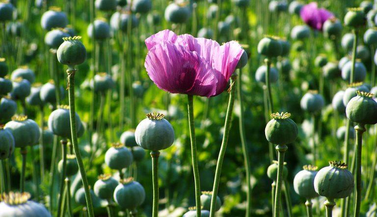 Haşhaş Çiçeği Bakımı