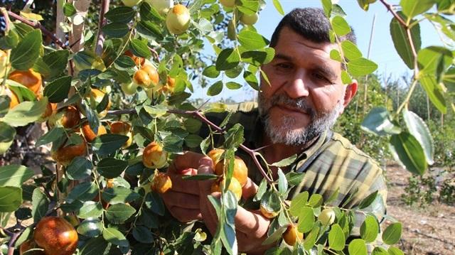 Hünnap Ağacı Bakımı Ve Yetiştirilmesi Cicekalnet