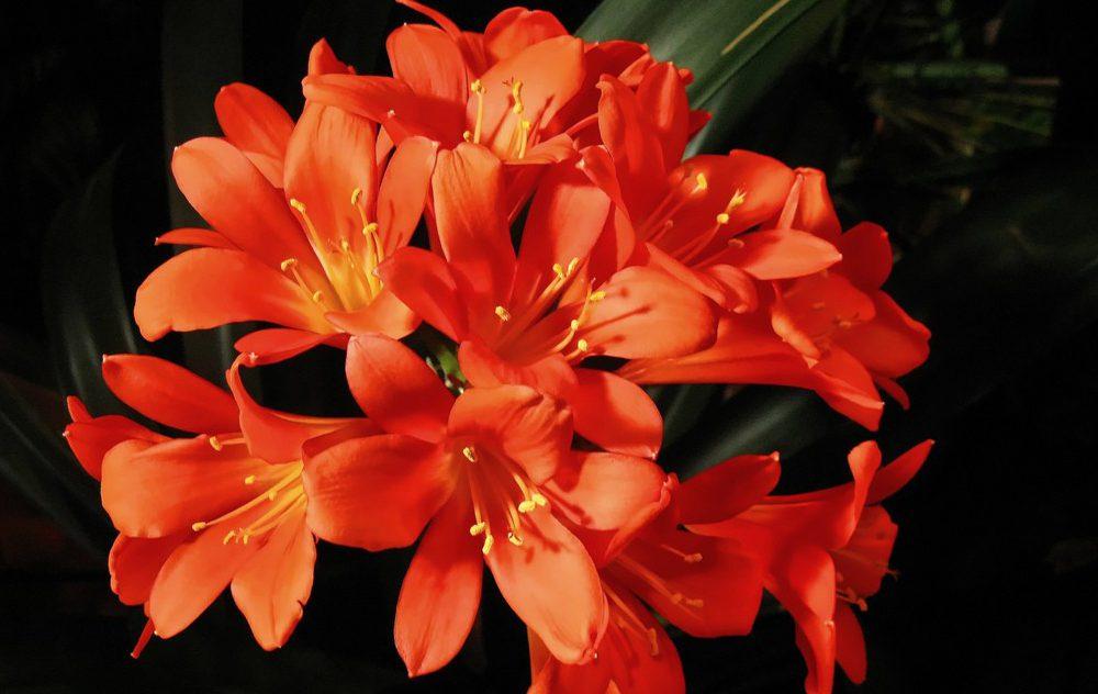 Klivya Çiçeği Bakımı